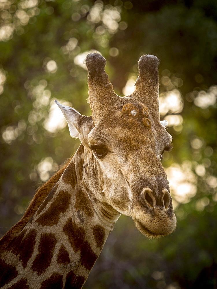 Giraffe (Giraffa camelopardalis), bull, animal portrait, Moremi Game Reserve, Botswana, Africa