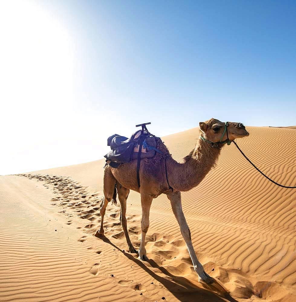 Dromedary (Camelus dromedarius), sand dunes in the desert, Erg Chebbi, Merzouga, Sahara, Morocco, Africa