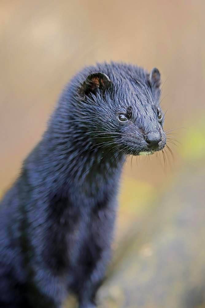 American Mink (Mustela vison), adult, alert, animal portrait, Pine County, Minnesota, USA, North America