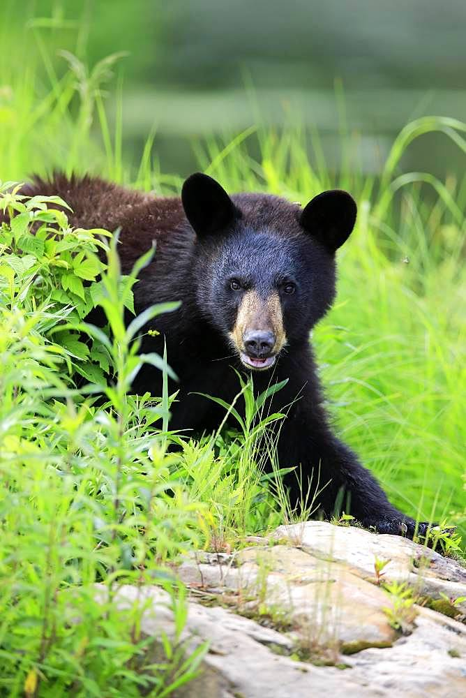 American Black Bear (Ursus americanus), young animal, animal portrait, vigilant, Pine County, Minnesota, USA, North America