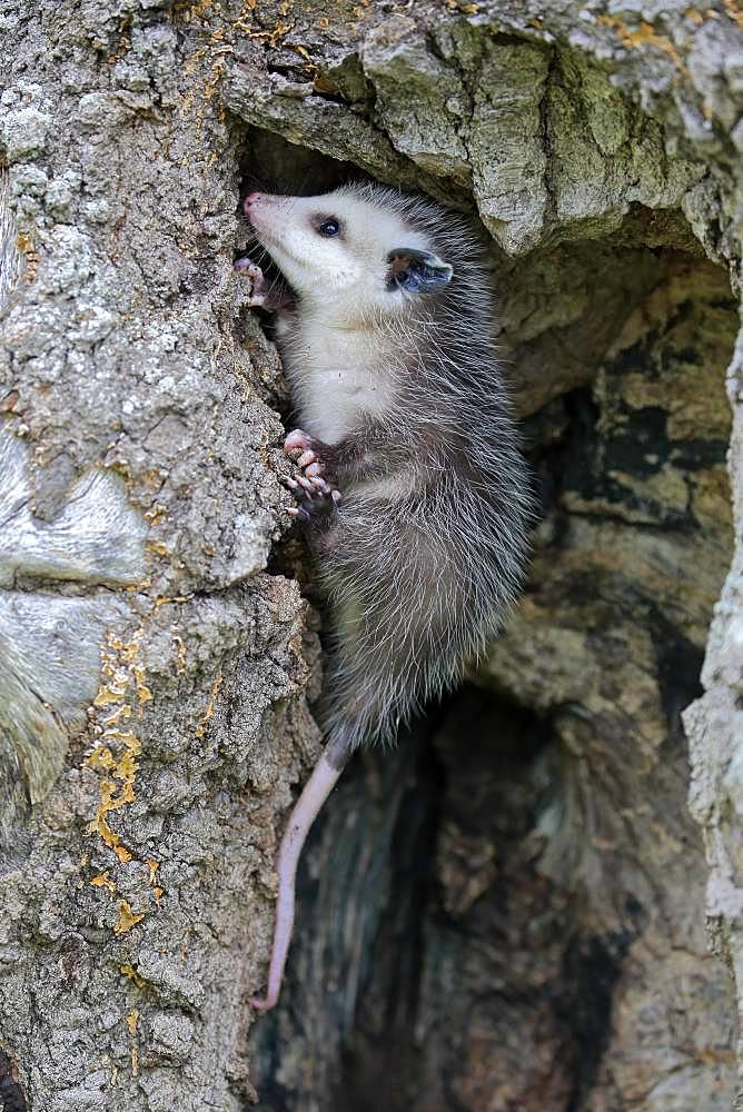 Virginia Opossum (Didelphis virginiana), young animal seeking shelter in tree trunk, Pine County, Minnesota, USA, North America