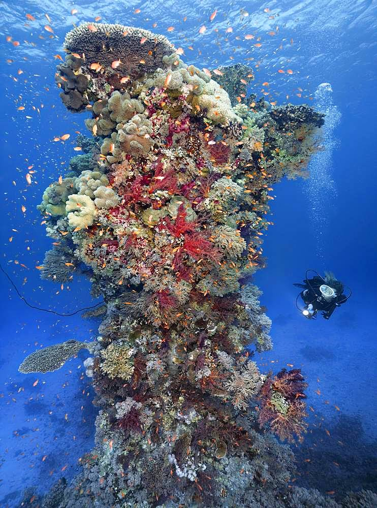 Diver with lamp looking at coral reef, coral tower, densely overgrown with various Soft corals (Alcyonacea), stone corals (Hexacorallia) and Sponge (Spongia), colorful, Red Sea, Egypt, Africa