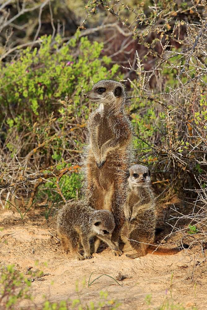 Meerkats (Suricata suricatta), adult with young animals, Oudtshoorn, West Cape, South Africa, Africa