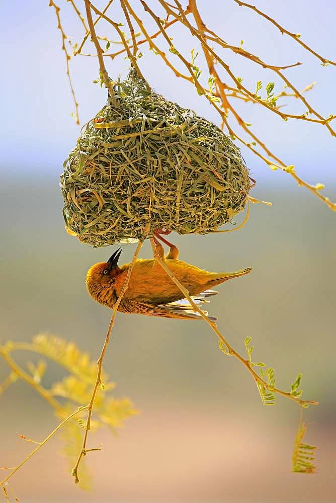 Cape Weaver (Ploceus capensis), adult male at nest building, Little Karoo, Western Cape, South Africa, Africa