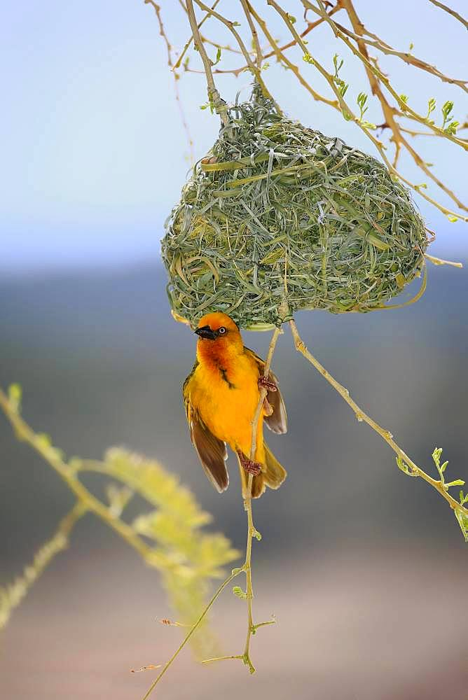 Cape Weaver (Ploceus capensis), adult male at nest, courtship display, Little Karoo, Western Cape, South Africa, Africa