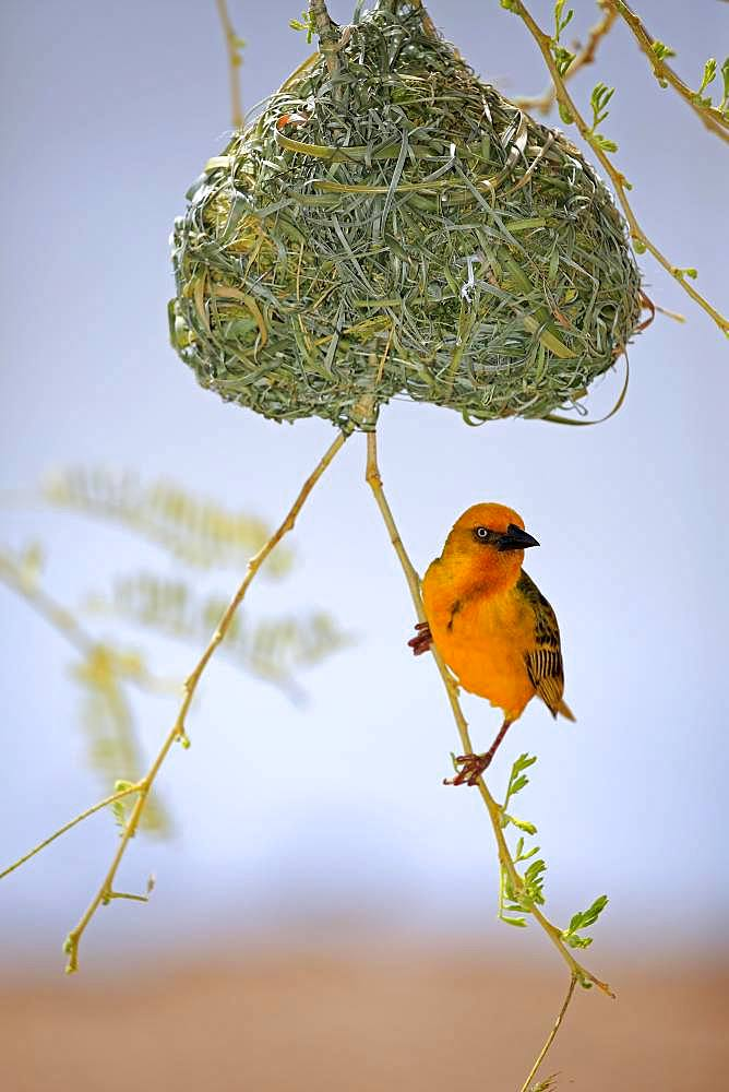 Cape Weaver (Ploceus capensis), adult male, on nest during courtshiping season, Little Karoo, Western Cape, South Africa, Africa
