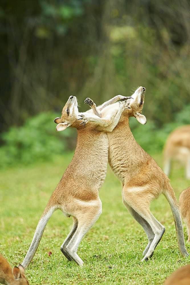 Wallabies (Macropus agilis) fighting on a meadow, Queensland, Australia, Oceania