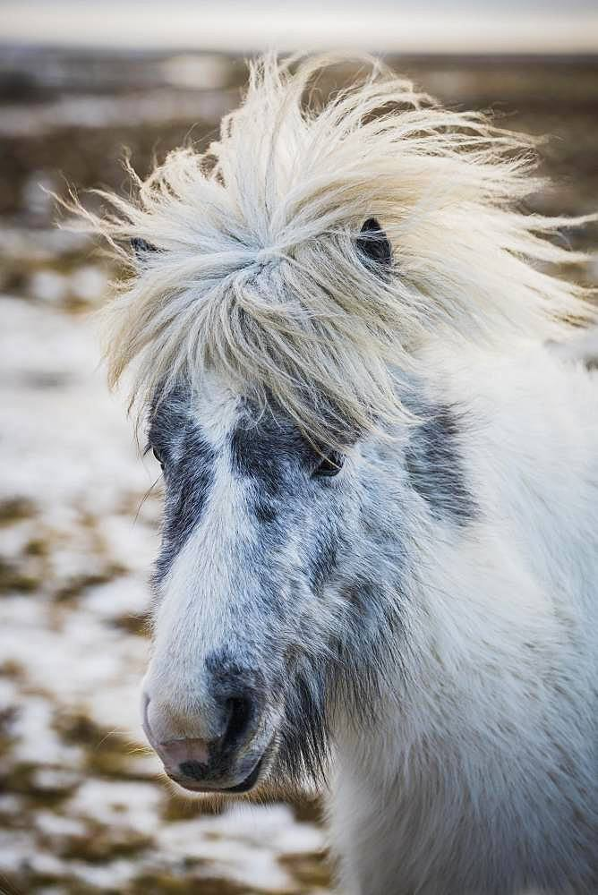 Icelandic horse (Equus islandicus), animal portrait, Iceland, Europe