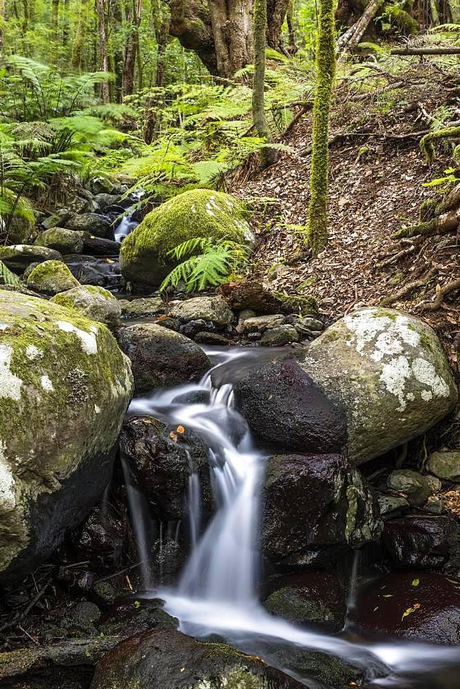 Creek flows through Cloud Forest, Garajonay National Park, La Gomera, Canary Islands, Spain, Europe
