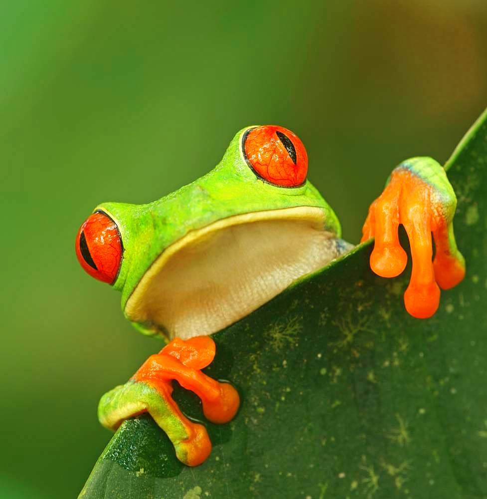 Red-eyed tree frog (Agalychnis callidryas) looks over leaf edge, animal portrait, Costa Rica, Central America
