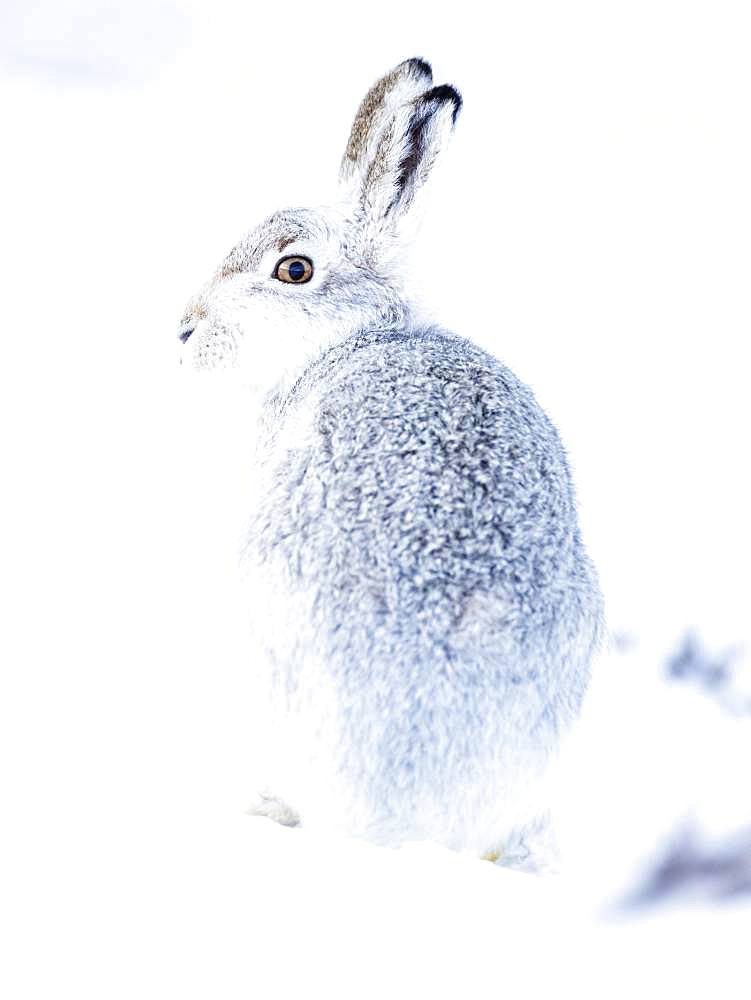 Mountain hare (Lepus timidus) sits in the snow, winter fur, Highlands, Scotland, Great Britain
