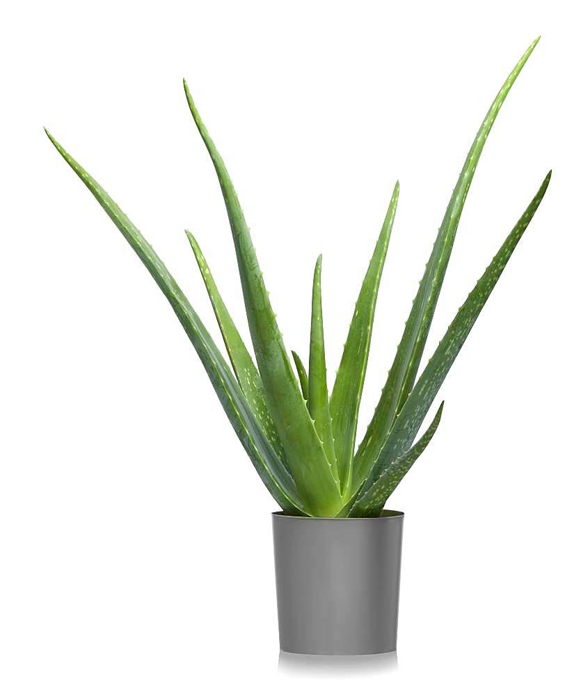 Aloe vera (Aloe vera) in flowerpot, cutout, white background, Germany, Europe