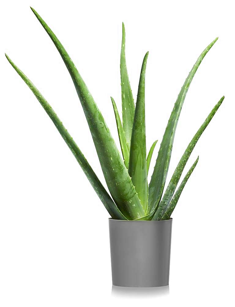 Aloe vera (Aloe vera) in flowerpot, cutout, white background, Germany, Europe - 832-384967