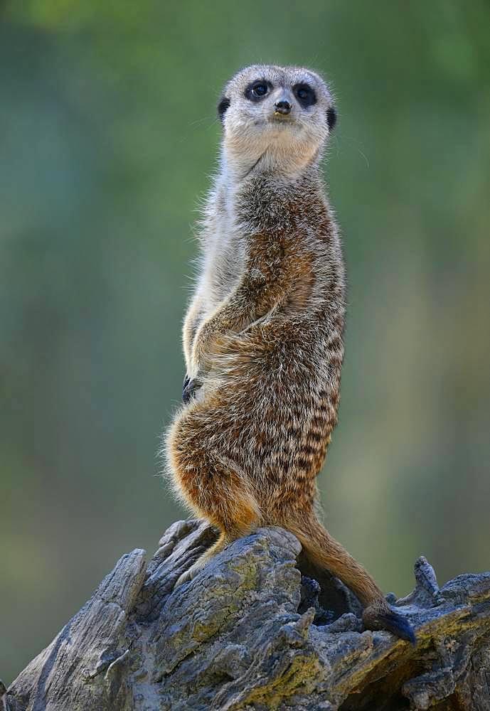 Meerkat (Suricata suricatta), vigilant, captive, Germany, Europe