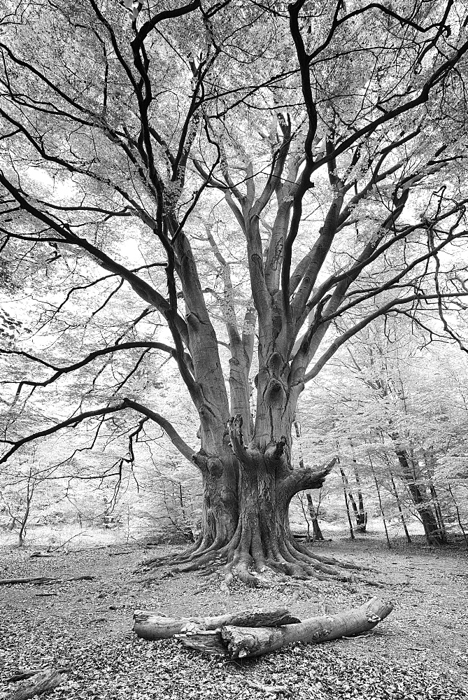 Huge old gnarled Beech (Fagus), black and white, Reinhardswald, Sababurg, Hesse, Germany, Europe