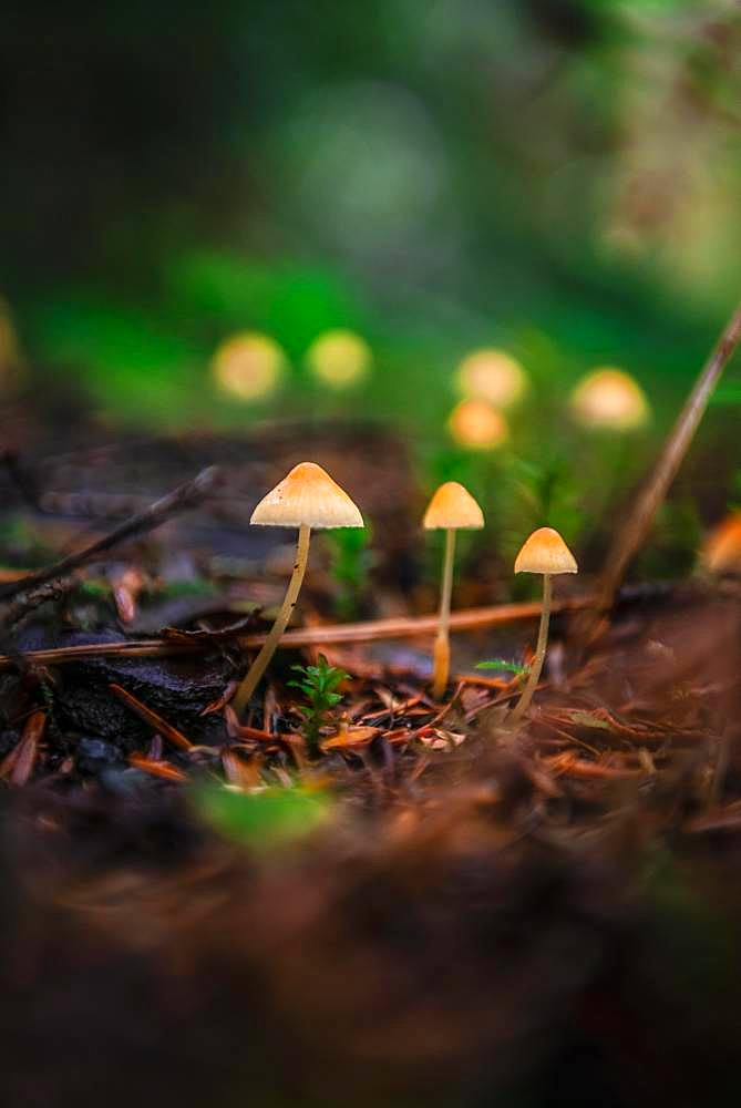 Small yellow Bonnets (Mycena) on forest floor, temperate rainforest, Mt. Baker-Snoqualmie National Forest, Washington, USA, North America