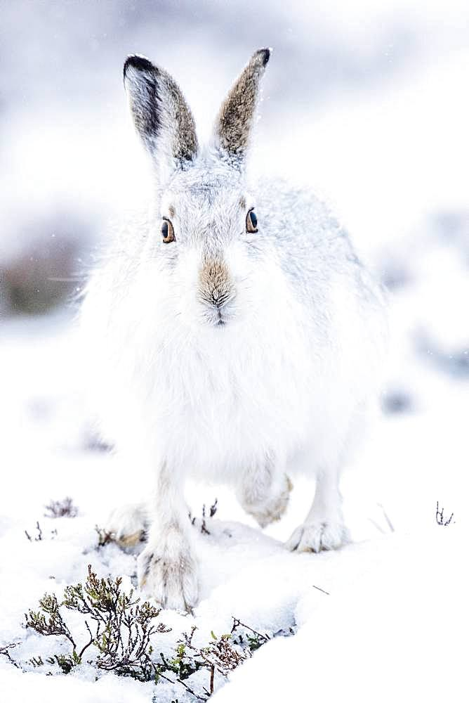 Mountain hare (Lepus timidus) in winter fur sits in the snow, Highlands, Scotland, Great Britain