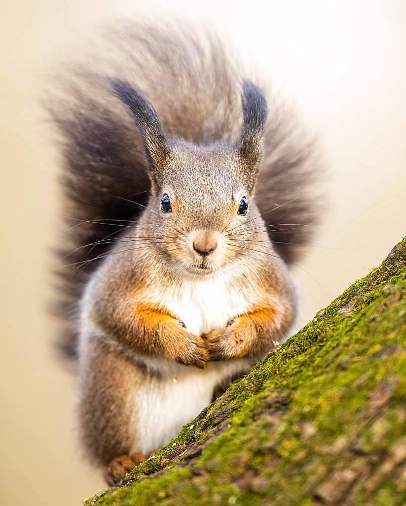 Eurasian red squirrel (Sciurus vulgaris) sits on tree, Lower Austria, Austria, Europe