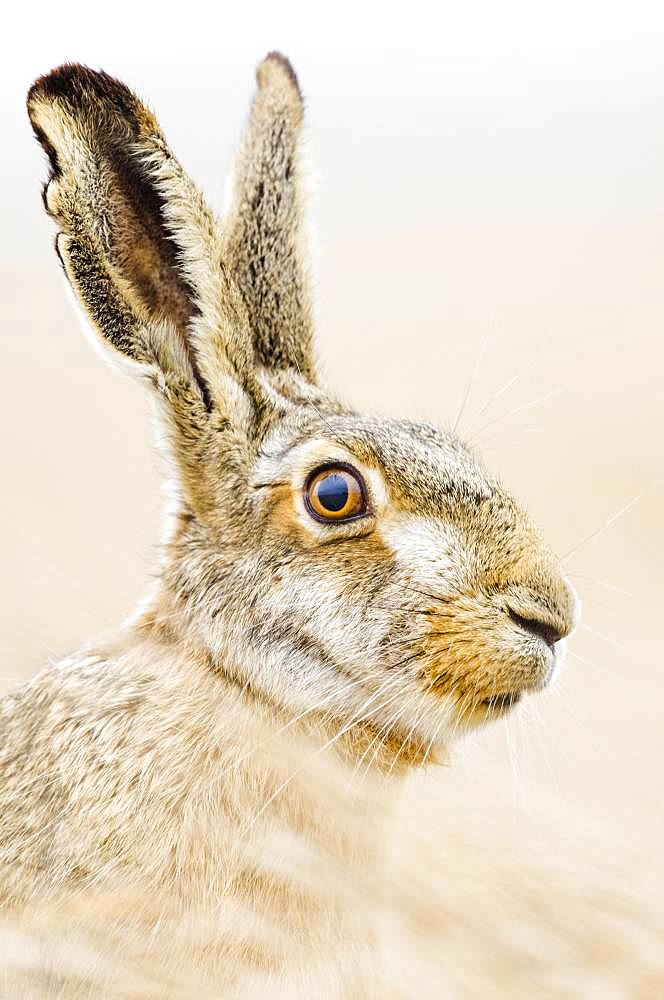 European hare (Lepus europaeus) sits attentively in the field, animal portrait, Burgenland, Austria, Europe