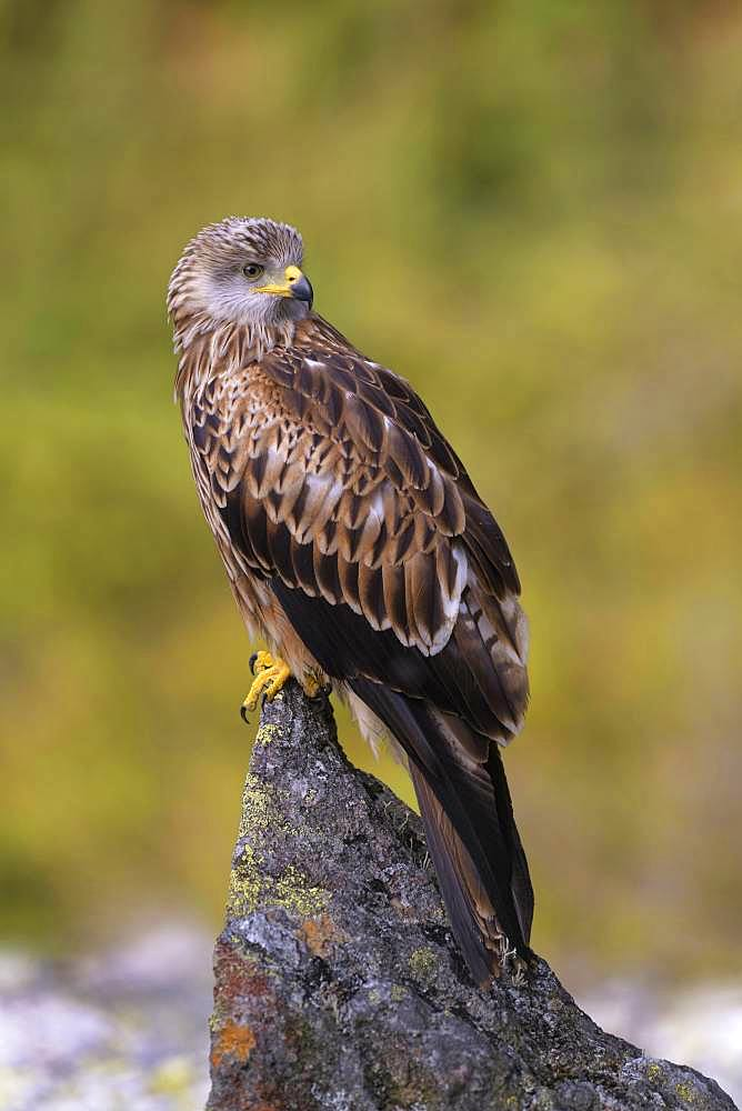 Red kite (Milvus milvus), sitting on a lichen covered stone, Black Forest, Baden-Wuerttemberg, Germany, Europe
