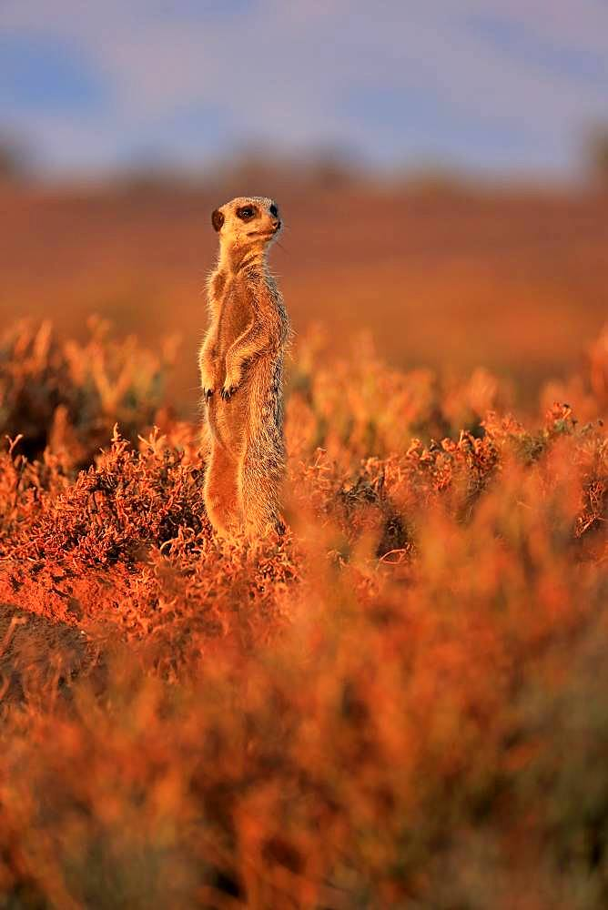 Meerkat (Suricata suricatta), adult, standing upright, at sunrise, vigilant, Oudtshoorn, Western Cape, South Africa, Africa