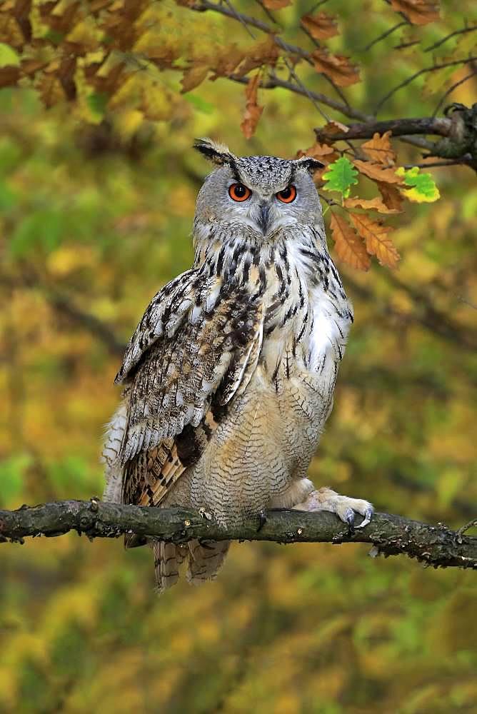 Siberian Eagle Owl (Bubo bubo sibiricus), adult, watchful on perch, Slovakia, Europe