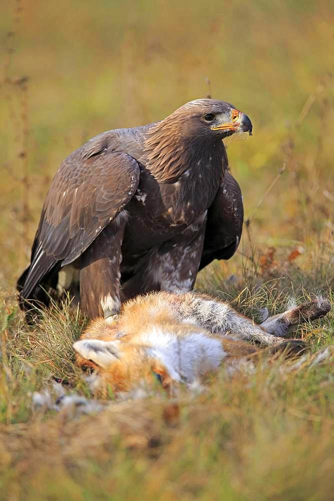 Golden eagle (Aquila chrysaetos), adult, alert with captured fox, Slovakia, Europe