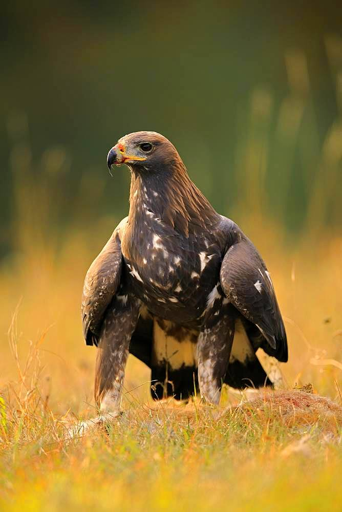 Golden eagle (Aquila chrysaetos), adult, stands alert at captured animal, Slovakia, Europe