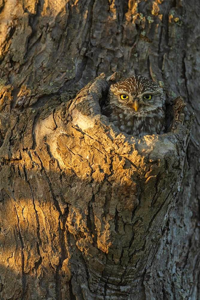 Little owl (Athene noctua) looks out of knot hole in tree, Germany, Europe