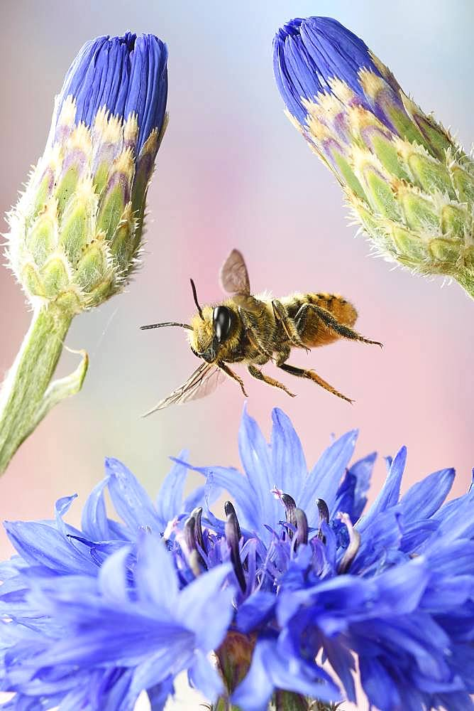 Patchwork leafcutter bee (Megachile centuncularis) in flight at the flower of a Cornflower (Cyanus segetum), Germany, Europe