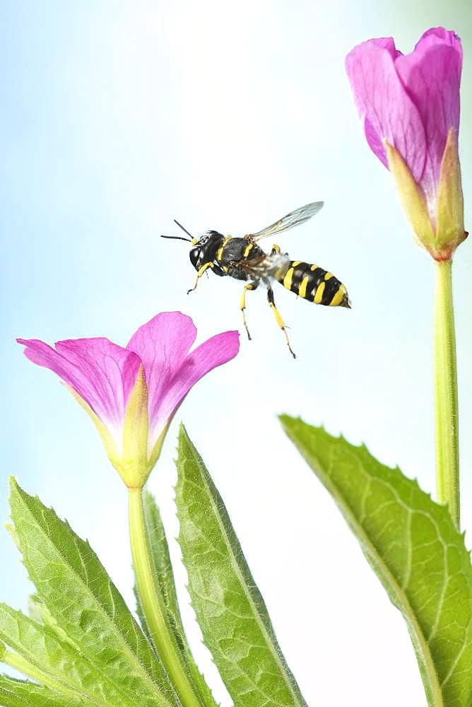 Grave wasp (Ectemnius cavifrons) in flight at the flower of Epilobium hirsutum (Epilobium hirsutum), Germany, Europe