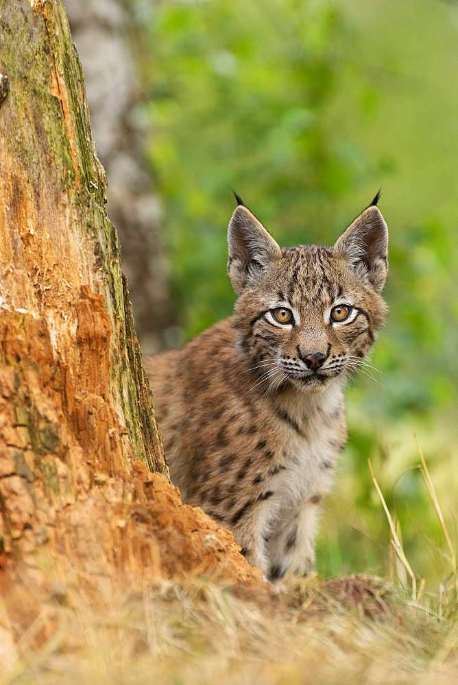 Lynx (Lynx lynx), young animal sitting behind tree trunk, Rhineland-Palatinate, Germany, Europe