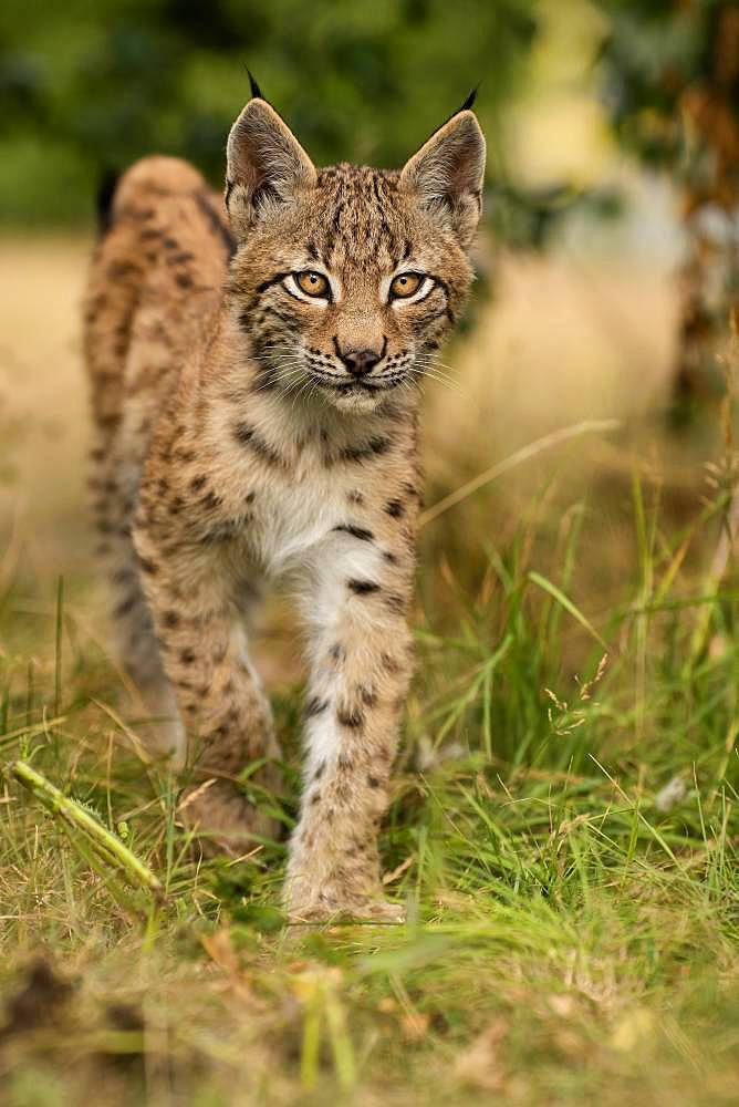 Lynx (Lynx lynx), young animal running, Rhineland-Palatinate, Germany, Europe