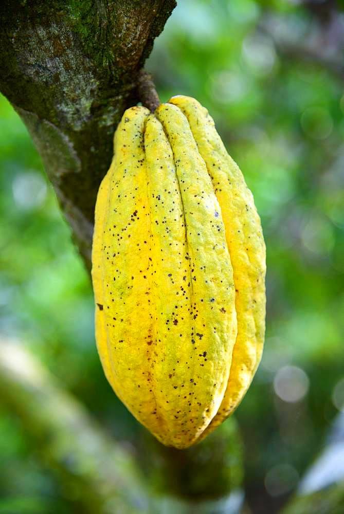 Cocoa tree (Theobroma cacao), cocoa fruit, Cordillera Oriental, Dominican Republic, Central America