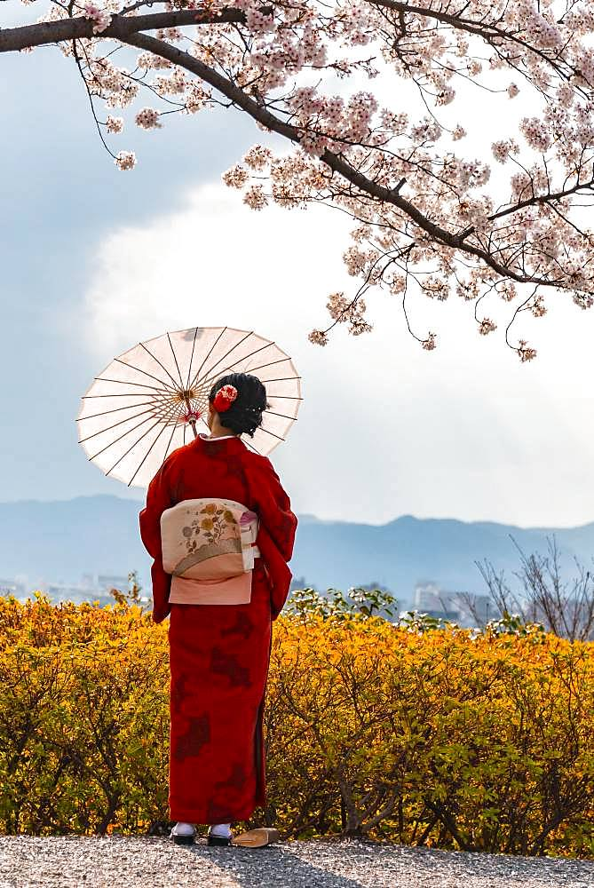 Japanese woman in traditional clothes, kimono and japanese sunshade under cherry blossoms, Shimokawaracho, Kyoto, Japan, Asia