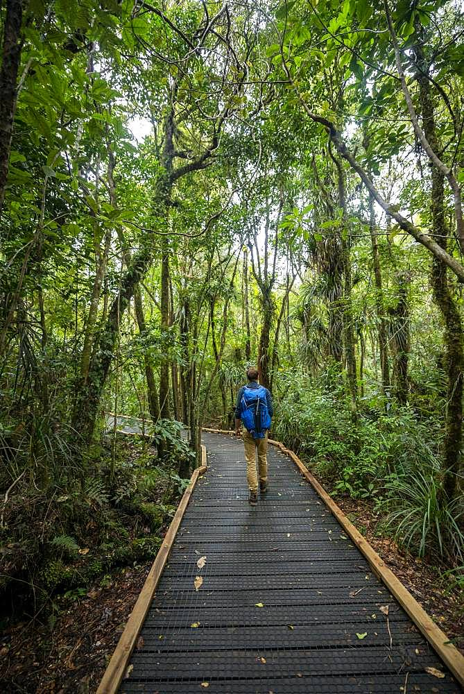 Young man on hiking trail in Kauri Forest, Kauri Walks, Waipoua Forest, Northland, North Island, New Zealand, Oceania