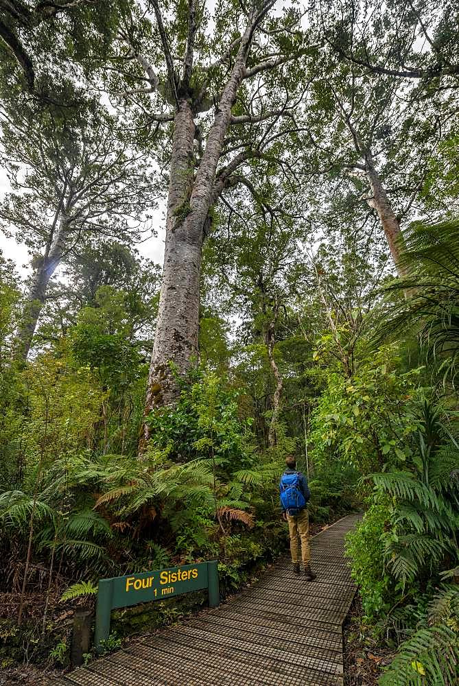 Young man on hiking trail in Kauri Forest, Kauri Walks, Four Sisters, Waipoua Forest, Northland, North Island, New Zealand, Oceania