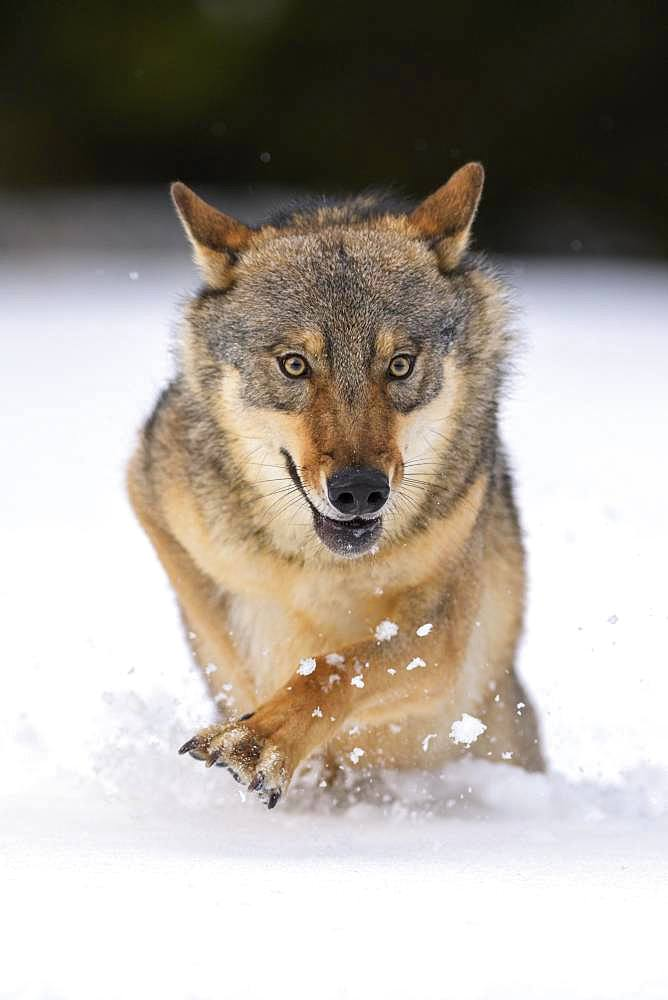 Gray wolf (Canis lupus), runs through deep snow, Sumava National Park, Bohemian Forest, Czech Republic, Europe