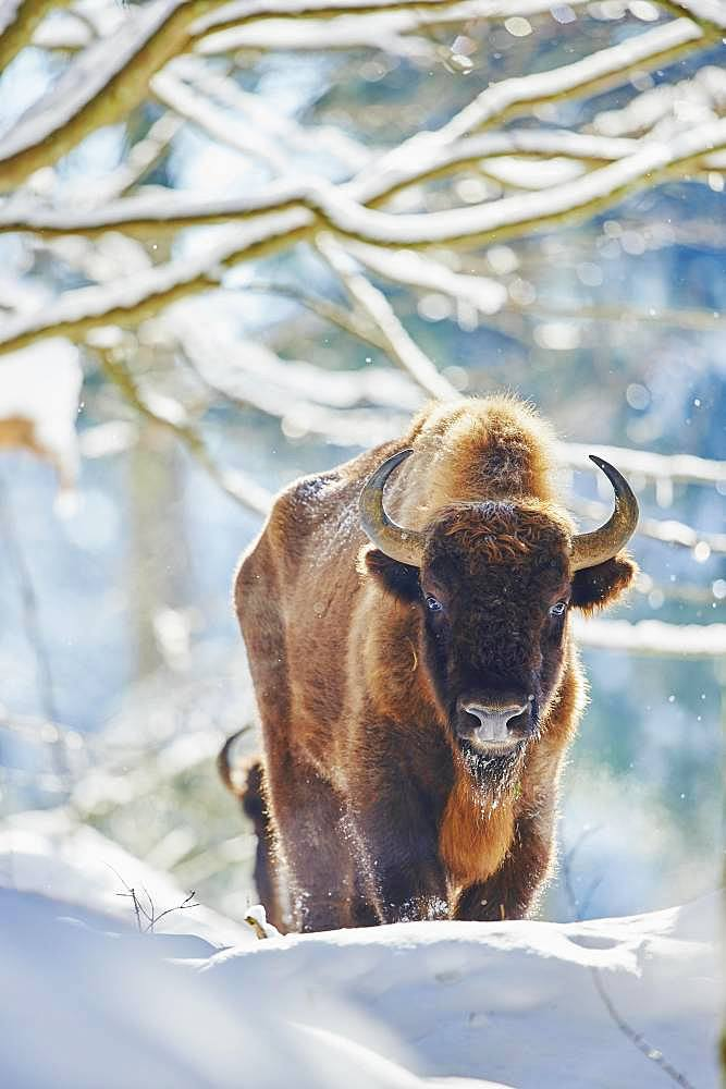 European bison (Bison bonasus) or Wisent in winter, captive, Bavarian Forest National Park, Bavaria, Germany, Europe