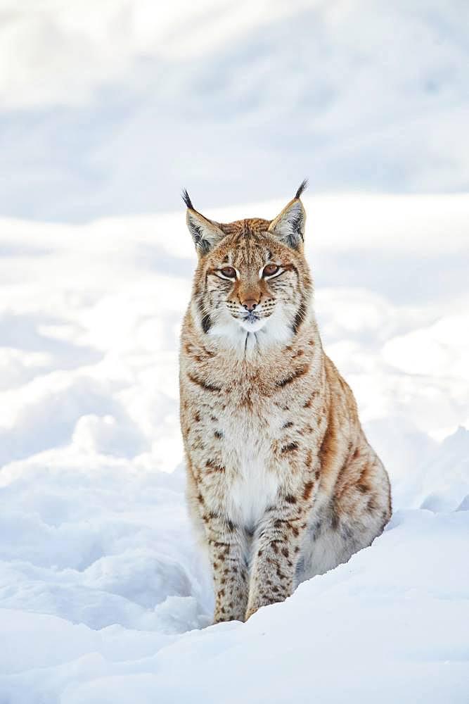 Eurasian lynx (Lynx lynx) in winter, captive, Bavarian Forest National Park, Bavaria, Germany, Europe