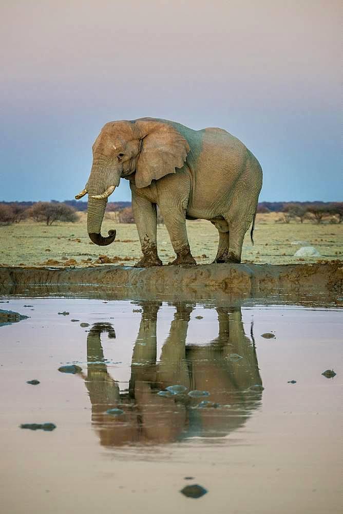 African elephant (Loxodonta africana), bull elephant reflected in a waterhole, Nxai Pan National Park, Ngamiland, Botswana, Africa