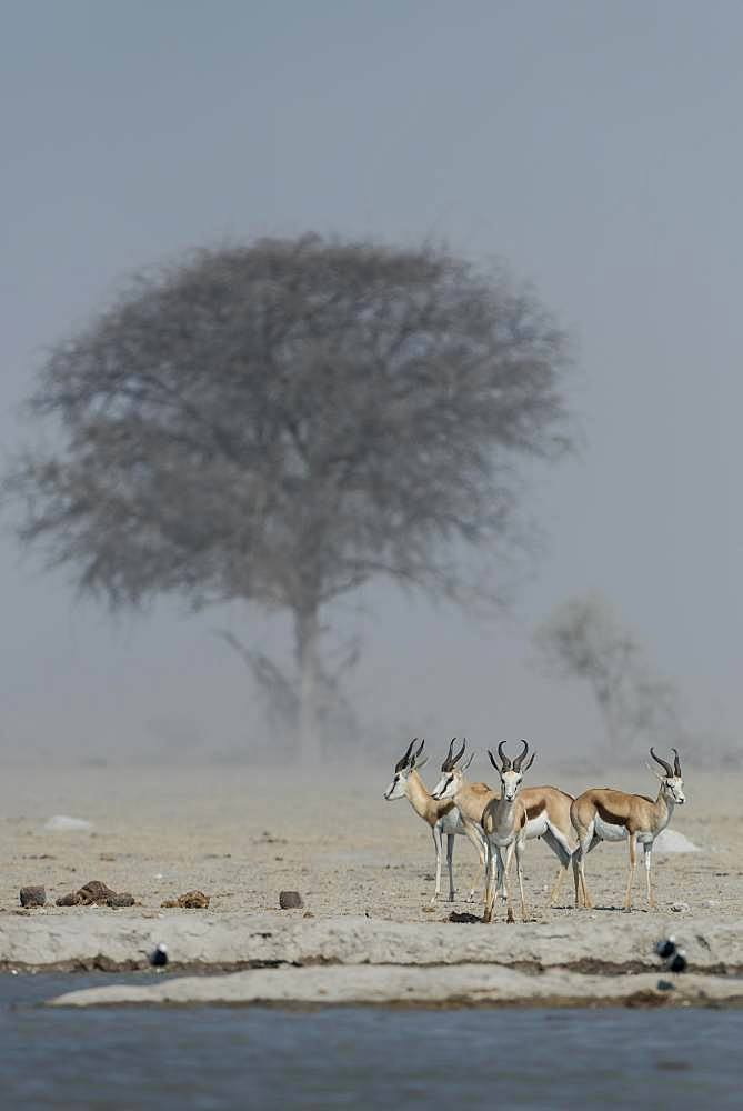 Springboks (Antidorcas marsupialis) in dusty air at a waterhole, Nxai Pan National Park, Ngamiland, Botswana, Africa