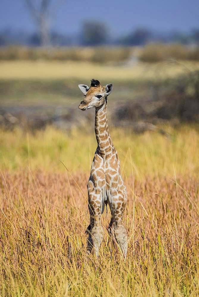 Angolan Giraffe (Giraffa camelopardalis angolensis), young animal, Moremi Wildlife Reserve, Ngamiland, Botswana, Africa