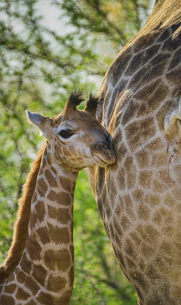 Angolan Giraffe (Giraffa camelopardalis angolensis), young animal gently leaning against mother, Moremi Wildlife Reserve, Ngamiland, Botswana, Africa