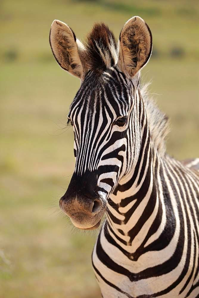 Cape mountain zebra (Equus zebra zebra), adult, animal portrait, Mountain Zebra National Park, Eastern Cape, South Africa, Africa