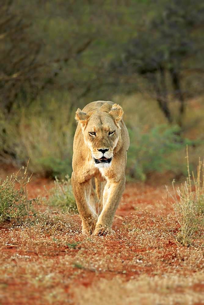 Lioness (Panthera leo), adult, walking through bush land, Tswalu Game Reserve, Kalahari, North Cape, South Africa, Africa