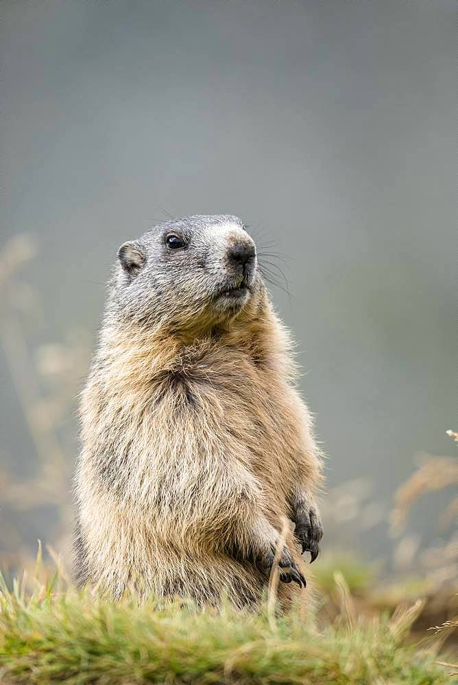 Alpine Marmot (Marmota marmota), animal portrait, Grossglockner, Hohe Tauern National Park, Carinthia, Austria, Europe