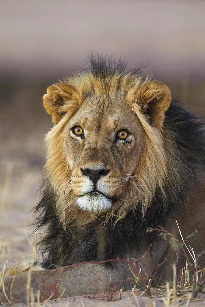 Black-maned lion (Panthera leo vernayi), male, resting, Kalahari Desert, Kgalagadi Transfrontier Park, South Africa, Africa