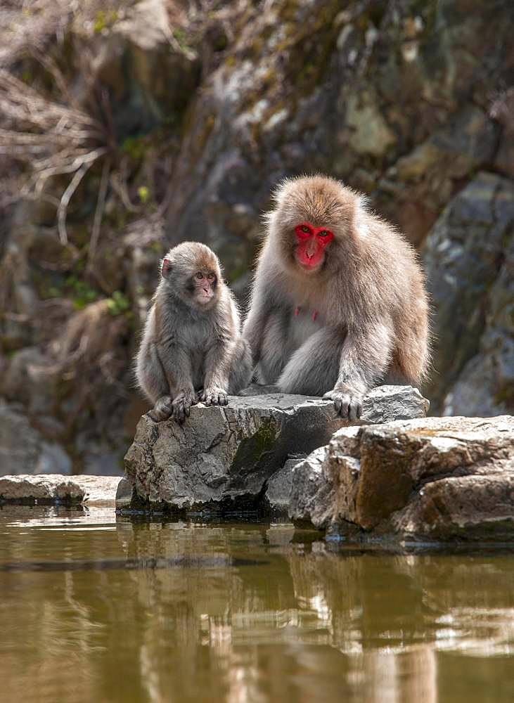 Two Japanese macaque (Macaca fuscata), mother and young animal sitting by the water, Yamanouchi, Nagano Prefecture, Honshu Island, Japan, Asia