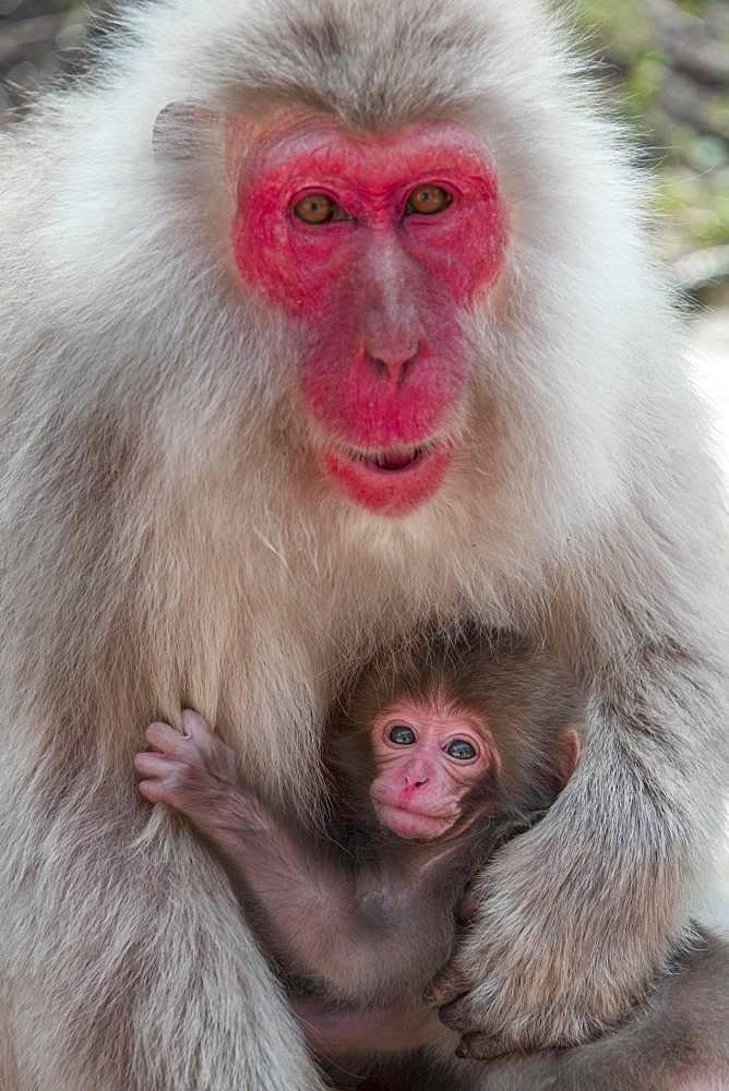 Japanese macaque (Macaca fuscata), dam with young, Yamanouchi, Nagano Prefecture, Honshu Island, Japan, Asia